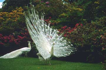 White Peacocks, the one with its train fully displayed (fanned)