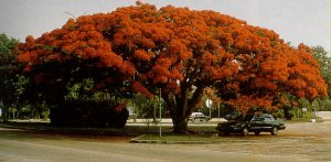 Botany: Royal Poinciana (Peacock Flower)