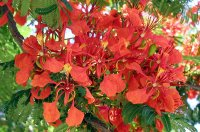 Botany: Royal Poinciana (Peacock Flower) - flower (detailed)