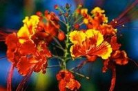 Botany: Royal Poinciana (Peacock Flower) - flower (detail)